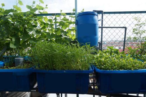 mô hình trồng rau tại nhà Phú Hòa An